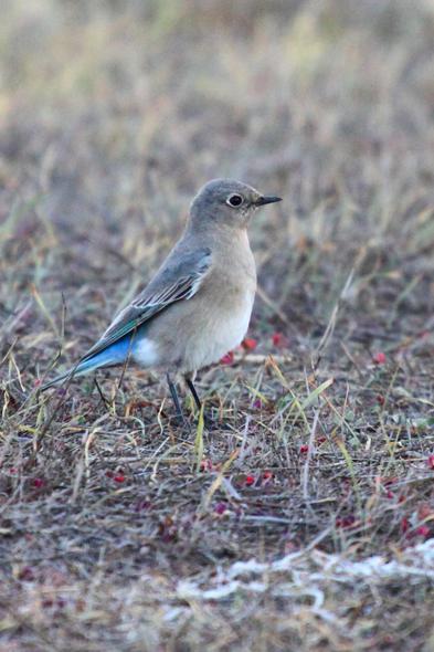 437_mountainBluebird4
