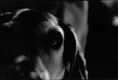 Mickey (sammymlee) Tags: shadow blackandwhite bw dog white black eye beagle canon dark fur furry gray mickey glossy fiberpaper canoneosrebelk2 glossyeye
