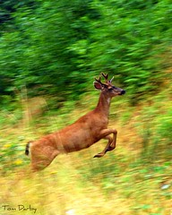 On the run (raul_the_truck) Tags: brown 3 green colors face speed nose spring jump movement nikon image tail young fast ears running run move well deer more whidbeyisland fav hop horn sanjuanislands capture skip sprint favs liked picnik whidbey antler d80 nikond80