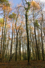 Tall trees (Rich3591) Tags: trees woods hampshire forestofbere challengeyouwinner justpentax pentaxk20d