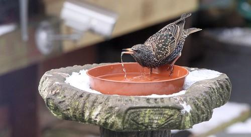 Starling Drinking