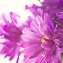 Pink Bouquet (KimFearheiley) Tags: pink purple daisy bouquet