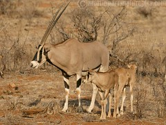 Beisa oryx (M.D.Parr) Tags: africa nature kenya wildlife antelope mammals samburu oryx martinparr naturephotos beisaoryx natureimages