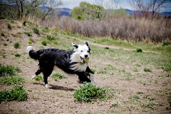 See Y'all at the River! (Anda74) Tags: colorado action may bordercollie chatfield dogpark ouzo canonef1740mmf4lusm