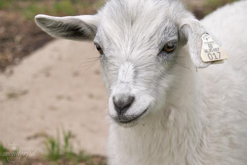 Goat_White_Pygmy
