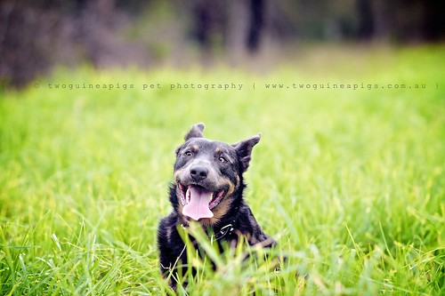 Happy face Baxter the Kelpie, photographed by twoguineapigs pet photography.
