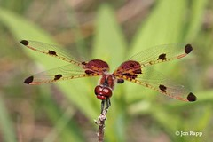 Dragonfly - Pennant, Calico - Celithemis elisa 2a (male) (MO FunGuy) Tags: ode conservation missouri prairie tucker elisa missouriodesdragonfliesmissouri dragonfliestucker areacalico pennantcelithemis