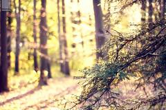 dreaming of bokeh (Maegondo) Tags: wood trees light sunset sunlight tree field backlight canon germany bayern deutschland bavaria eos 50mm dof forrest bokeh 14 depth ingolstadt 550d