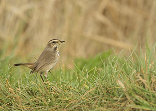 Bluethroat DSC_6767