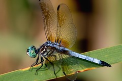 2016 Blue Dasher (Pachydiplax longipennis) (Explored) (DrLensCap) Tags: blue dasher pachydiplax longipennis moraine hills state park mchenry illinois il bug insect dragonfly dragon fly robert kramer