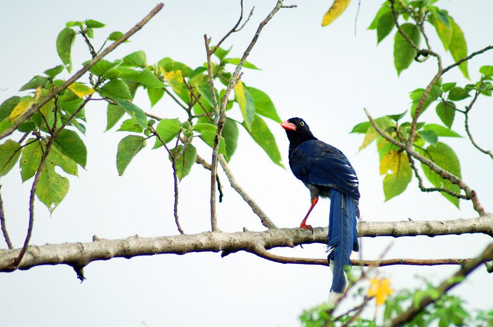 大崙頭尾106 台灣藍鵲
