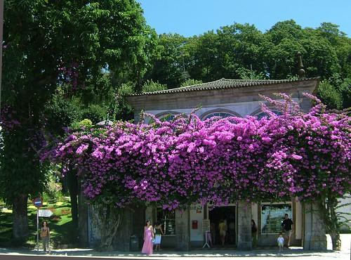 Bougainvillea-Braga-0607