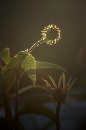 188b:365哦,不,不是另一个锥花!