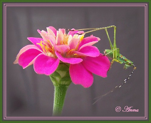 Katydid Nymph on Pink Zinnia ©