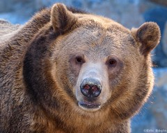 Grizzly Bear (Eric Bgin) Tags: bear nature animal wildlife olympus grizzly ours blueribbonwinner sigma135400mm specanimal mywinners abigfave colorphotoaward impressedbeauty e520 ericbegin