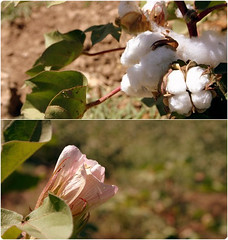 Cotton -  (Reza-ir) Tags: flower nature village iran cotton husbandry khorasan   agronomy