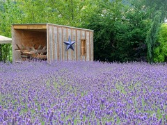 Found a one-star hotel (GustavoG) Tags: lavender field farm sequim washington open wooden shed wood hotel one star piled benches plants flowers purple green