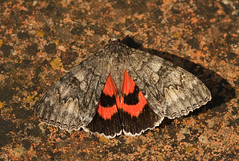 Red Underwing (Catocala nupta) (nutmeg66) Tags: garden moth september noctuidae catocalinae 2009 2452 mothtrap redunderwing catocalanupta nationalmothnight nationalmothnight2009