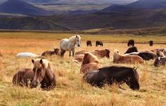 I hope you have relaxing weekend (Anna.Andres) Tags: horses horse 350d iceland canoneos350d sland naturesfinest hestar icelandichorses abigfave slenskihesturinn impressedbeauty infinestyle plantecheval sailsevenseas annagumundsdttir