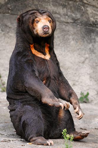 フリー画像| 動物写真| 哺乳類| 熊/クマ| マレーグマ|       フリー素材|