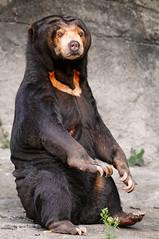 [フリー画像] [動物写真] [哺乳類] [熊/クマ] [マレーグマ]       [フリー素材]