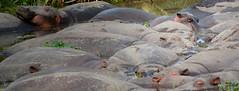 Oeil d'hippo (orang_asli) Tags: africa nature pool animals tanzania mammal nationalpark eau champs ngorongoro fields vulcano tang lieux bassin étang afrique mammifère volcan aficionados faune naturel tanzanie savane parcnational hyppopotamus géographie hyppopotame gographie mammifre