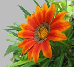Faces up to the sun (Laramie_Coyote) Tags: friends flower nature gazania naturesbest naturesfinest impressedbeauty freenature mimamorflowers alittlebeauty printedalready pogchallengewinners