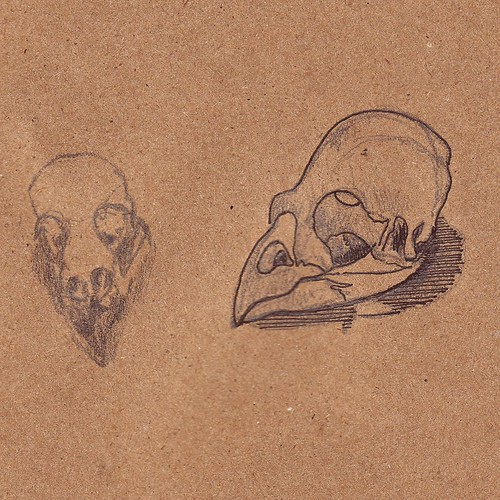 Mockingbird Skull