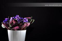Meaning of Purple ! (Banafsaj_Q8 .. Free Photographer) Tags: pink flowers black ikea studio nikon purple free photographers p kuwait meaning kw q8   d90 kuw   alanood banafsaj banafsajq8 alotaibi alanoodvisioncom