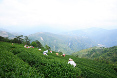 () Tags: nature tea taiwan                 taiwanoolongtea