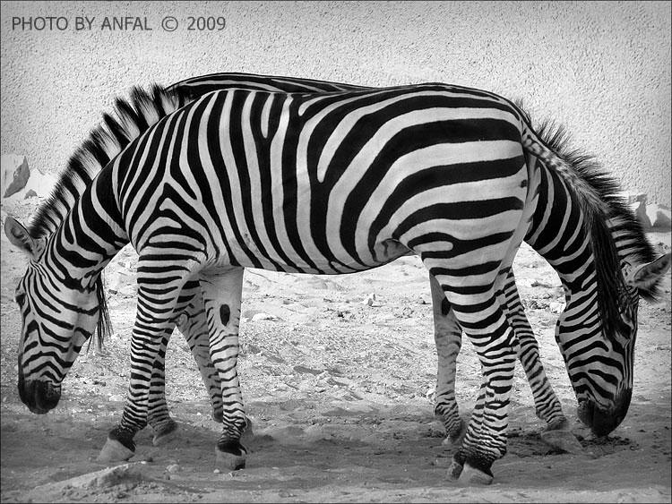 optical illusions amazing illusion zebra drop cap daily