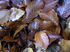 Beach leaves (Specklet) Tags: england kent beechleaf englishcountyside colorpaletteinspiration