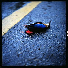(19/77) Tags: bird 120 tlr film animal mediumformat dead colorful malaysia kualalumpur 1977 negativescan kl yashicamatlm kodakektacolorpro160 yashinon80mmf35 autaut canoscan8800f myasin hacobayonetn01