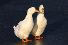 White Mallard (Newdawn images) Tags: bird wildfowl canoneos5d whiteduck greatdunmow fantasticnature doctorspond