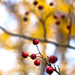 new (nosha) Tags: november blue autumn red sky usa tree fall nature beautiful beauty field yellow newjersey pattern berries dof bokeh nj jersey organic 2009 depth f28 45mm mercercounty lightroom blackmagic nosha hbw 0ev 11000sec 45mmf28 natureycrap nikond40 fall2009 bokehwednesday 11000secatf28 ul20051115