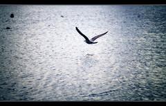 Planeando (_Zahira_) Tags: blue light bird london luz water azul lafotodelasemana fly agua olympus ave londres pajaro gaviota volar e500 uro p1f1 ltytrx5 ltytr2 ltytr1