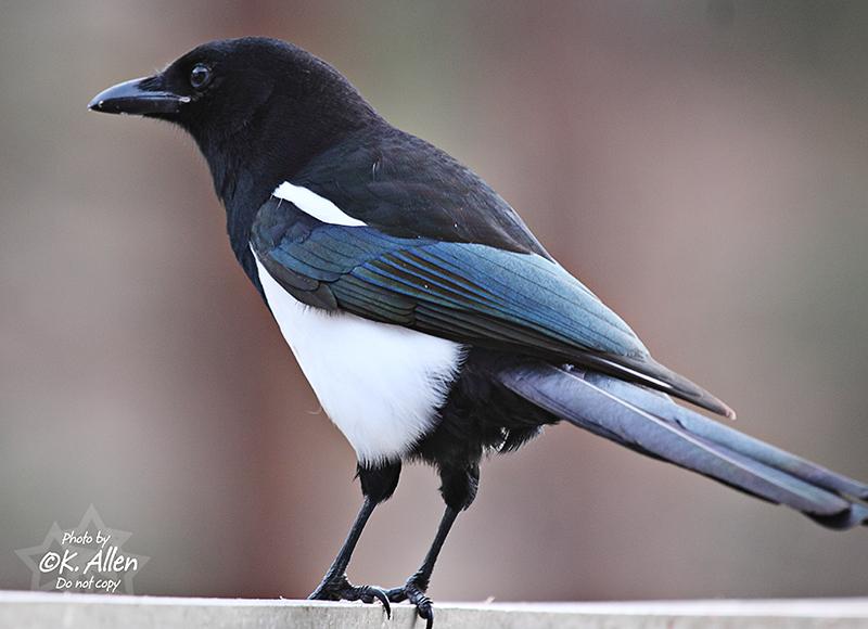 Magpie (by KansasA)