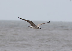 Heuglin's Gull 1st Winter (john164694) Tags: india birds gull maharashtra konkancoast akshibeach