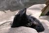 Binturong - Ben (Potter Park Zoo) Tags: zoo michigan lansing lansingmichigan bearcat binturong asianbearcat potterparkzoo palawanbearcat wwwpotterparkzooorg