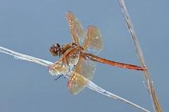 Golden Winged Skimmer (DrPhotoMoto) Tags: dragonfly mating skimmer meadowhawk goldenwingedskimmer libellulaauripennis