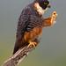 Bat Falcon (Falco rufigularis)