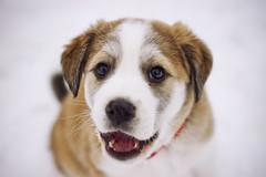 [フリー画像] [動物写真] [哺乳類] [イヌ科] [犬/イヌ] [子犬]      [フリー素材]