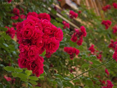 German roses. Olympus E5 at f/4, 108mm (35mm equiv), 14-54 mm lens