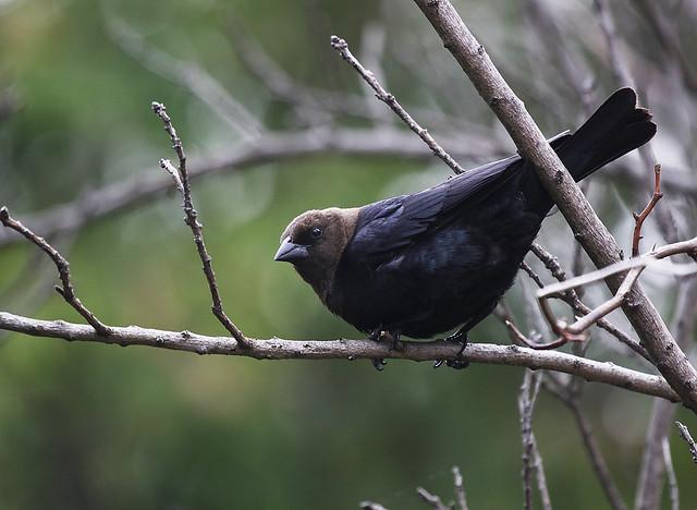 male cowbird