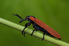 Red weevil (Rundstedt B. Rovillos) Tags: redweevil rhinotiahaemoptera weevil beetle insect insecta insekto insekten insecte insekt nikond300 nikkor1855mm nikonsb400 reverselensadapter diykfcflashdiffuser diyflashdiffuser kfcflashdiffuser kfcdiffuser kentuckyfriedchickenplasticbucketlid reverselens reverselensmacroshoot onehandmacroshootmethod macrophotography macro straightoutofcamera sooc rundstedtbrovillos