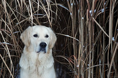 Timmi's shelter (clé manuel) Tags: winter reed golden retriever nature shelter snow dog animal hund natur white portrait carl zeiss jena analogue analog sonyalpha 135mm f35 sonnar