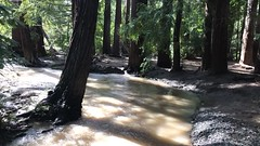 It's finally raining in California (raeann.melendez) Tags: redwoods losaltos walkway wood running water trees river