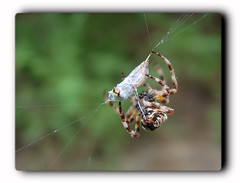 Spider's Victim /  (Zopidis Lefteris) Tags: macro closeup photography spider close wasp hellas bee greece allrightsreserved closer lefteris eleftherios    wildbee zop  zopidis macrolife leyteris              photographerczopidislefteris c heliographygroup heliographygroupmember photographerzopidislefteris  photographerzopidislefterisc c  allphotosarecopyrightedbyzopidislefteris  copyright