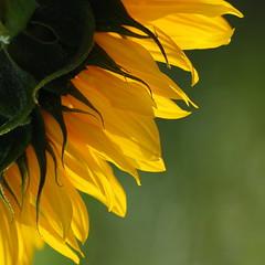 Sunflower (Lucin Reyns) Tags: netherlands yellow pentax nederland sunflower geel zonnebloem aficionados pentaxk20d zeeuwsvlaanderenlreyns adrinnesmagicalmoments smcpentaxda60250