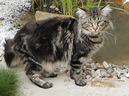 maine-coon-cat-facts-2